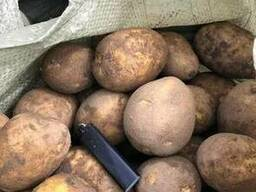 Картофель гала - photo 2