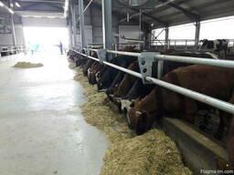 Бычки каровы бараны - фото 4
