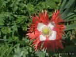 Маки декоративные (семена) - photo 7