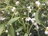 Омела, омела белая, Омела белая трава - фото 2