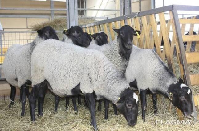 Овцы, ягнята жывой вес