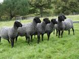 Овцы, ягнята жывой вес - photo 3