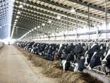 Продажа нетелей, бычков молочных и мясных пород из Прибалтики (Латвия, Литва, Эстония) - фото 1