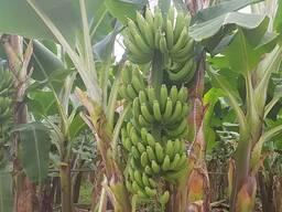 Современные тепличные комплексы для взращивания Бананов - Турция